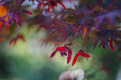 Japanese maple (pucek) Tags: maple japanese acer japonicum helios 44m bokeh seed seeds