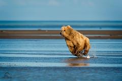 Let the Chase Begin! (Glatz Nature Photography) Tags: alaska hallobay katmainationalpark nature wildanimal wildlife coastalbrownbear ursusarctos brownbear grizzlybear bear action predator charge