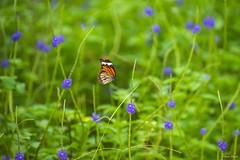 - Danaus genutia - CKS Camping Area - Taichung City (prince470701) Tags:  danausgenutia  butterfly  ckscampingarea sonya99 sigma70300mm  taichungcity taiwan