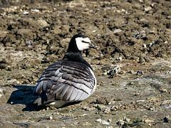 Barnacle Goose (Branta leucopsis) (David Cook Wildlife Photography) Tags: barnaclegoose brantaleucopsis spitsbergen svalbardarchipelago norway davidcookwildlifephotography kookr sonya77mkii sonyilca77m2 sonysal70400g2 2016davidcookwildlifephotographyallrightsreserved