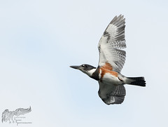 Kingfisher 8_29 (krisinct- Thanks for 12 Million views!) Tags: nikon d500 500 f4 vrg