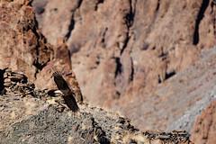 SD-2016-01-0285 (Sylvain Dussans) Tags: aves birds oiseaux beardedvulture gypaetusbarbatus gypatebarbu himalaya hiver inde india ladakh lammergaier