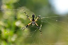 Yellow Garden Spider (Buzz Hoffman) Tags: minnesota prairie spider blackandyellowgardenspider gardenspider