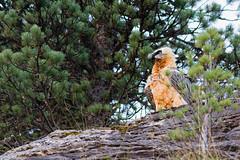 Gypate  barbu (Hubert Chiapusso) Tags: oiseau aussois animalsauvage rapace gypatebarbu