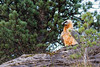 Gypaète  barbu (Hubert Chiapusso) Tags: oiseau aussois animalsauvage rapace gypaètebarbu