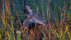 Can't Scratch (larry kapellusch) Tags: deer whitetail nature doe wildlife