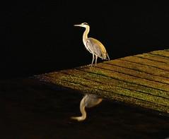 Irish Grey Heron, (Seanieseye) Tags: grey heron hunter latenight still harbour calm patience reflection outdoor timing bird