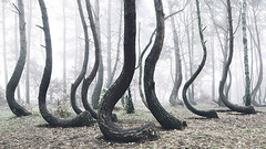 El inexplicable misterio de los rboles doblados en Polonia [VDEO] (vgcouso) Tags: bosque misterio naturaleza polonia