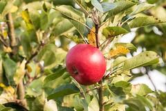 Mrchenapfel (hwl.weber) Tags: nikond750 fx dnemark ostsee obst apfel baumfrucht grn rot outdoor