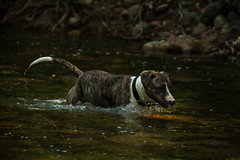 (Roco AR) Tags: american stanfordshire terrier mix bully breeds rescued dog adopt dont shop river