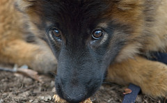When Cesare Was a Wee Puppy (Kim Taylor Hull) Tags: cesare chezzie kimtaylorhull finiky belgianshepherd tervuren puppy