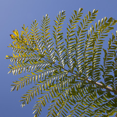 6740Summer10 (Robin Constable Hanson) Tags: blue ceiling fishtail green leaves overhead palm sky