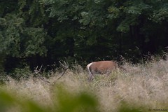 Korona...  Jele szlachetny ( Cervus elaphus ) Red deer (Fotografia przyrodnicza - moje hobby. Zapraszam...) Tags: jele szlachetny cervus elaphus red deer byk byki bieszczady rykowisko 2016 wrzesie gody jeleni jelenie anie ania poroe korona las lasy nature wild nikon d7100 tamron 150600 vc triopo gt bies czady fotografia przyrodnicza ukasz drobot przyroda ubr ubry jesie bieszczadzki park narodowy poranek mga