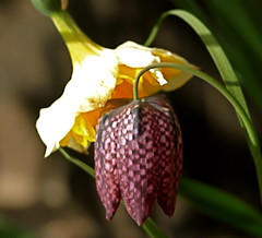 POSSESSIVE! (ikan1711) Tags: flowers petals spring blossoms blooms daffodils springflowers fritillaria beautifulflowers springblossoms springblooms largeflowers beautifulpetals allflowers springpetals