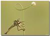 "Robber Fly (Lior Dar) Tags: flower macro backlight israel fly aperture nikon branch dof bokeh depthoffield getty robberfly blueribbonwinner coth macroextreme macrolicious topshots beautifulphoto physis photographsandmemories abigfave ourplanet ultimateshot flickraward macrophotosnolimits magicofaworldinmacro buzznbugz macrolife theperfectphotographer flickrestrellas ahqmacro multimegashot macrosdenaturaleza abovealltherest ""nikonflickraward"" grouptripod colorsofthesoul thebestmacrophotos artofimages oneofmypics ""flickraward"" platinumbestshot flickrunitedaward nikond3s tripleniceshot mygearandme nikonmicro200f4 ringexcellence"