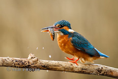 Kingfisher with another Stickleback (Nigel Dell) Tags: birds spring flickr wildlife kingfisher ngdphotos