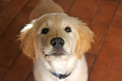 Bailey! (andrewpug) Tags: pet cute smile goldenretriever puppy happy golden bright awesome adorable fluffy retriever