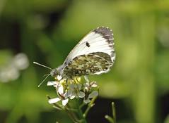 Female Orange tip (Mr Grimesdale) Tags: butterfly orangetip orangetipbutterfly stevewallace britishbutterflies femaleorangetip mrgrimesdale elitebugs