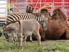 Kamel, zebra och åsna (PiaLiz) Tags: donkey camel zebra kamel åsna
