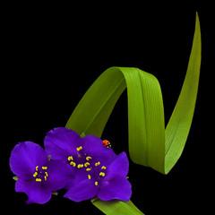 Tiny Miracles of Nature (njk1951) Tags: nature squareformat ladybug spiderwort purpleflowers ladybirdbeetle onblack tinyflowers curvedleaf blinkagain bestofblinkwinners tinymiraclesofnature blinkwin20142
