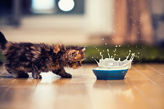 Daisy Making a Splash (torode) Tags: blue japan cat tokyo golden persian milk kitten blueeyes places bowl daisy splash flooring  highspeed narrowdof greencarpet
