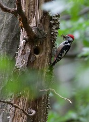 Middle Spotted Woodpecker-1b-05-12 (Robin's Bird Scrapbook) Tags: middlespottedwoodpecker