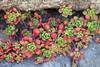 Sedum spathulifolium (Polylepis) Tags: california californianative mariposacounty yosemite sedumspathulifolium sedum crassulaceae sierras