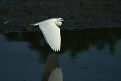 Little Egret (Egretta garzetta garzetta) (Dave 2x) Tags: taiwan guandu littleegret egrettagarzetta egrettagarzettagarzetta daveirving httpwwwdaveirvingwildlifephotographycom