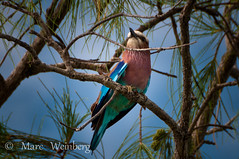 LILAC-BREATED ROLLER #2-302-3.jpg (Marc Weinberg) Tags: birds mozambique d300 lilacbreastedroller matemoisland