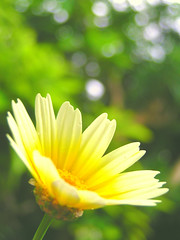 2012.05.29  (  ) Glebionis coronaria (eriko_jpn) Tags: vegetable yellowflower daisy vegetableflower crowndaisy garlandchrysanthemum glebioniscoronaria