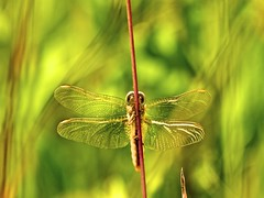 Lost for words (Lumase) Tags: nature grass insect spring wings haiku dragonfly issa libellula supershot crocothemiserythraea