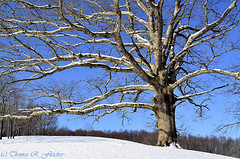 White Oak Tree and Snow (travelphotographer2003) Tags: winter usa snow ecology solitude bluesky westvirginia serenity refreshing appalachianmountains whiteoak beautyinnature quercusalba webstercounty appalachianfarm