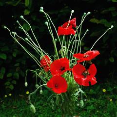 poppy flowers (yvon Merlier) Tags: flowers sea love landscape poppy soe platinumphoto