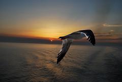 """volo (wallace39 """" mud and glory """") Tags: sunset sea sky italy italia tramonto mare seagull flight volo cielo gabbiano liguriansea marligure flickraward fbdg flickraward5 flickrawardgallery vpu1 rememberthatmomentlevel4 rememberthatmomentlevel1 rememberthatmomentlevel2 rememberthatmomentlevel3 rememberthatmomentlevel7 rememberthatmomentlevel9 rememberthatmomentlevel5 rememberthatmomentlevel6 rememberthatmomentlevel8 rememberthatmomentlevel10 vigilantphotographersunite vpu2 vpu3 vpu4 vpu5 vpu6 vpu7 vpu8 rememberthatmomentlive5"""