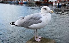 Silbermwe (Larus argentatus) 02 (Stefan_68) Tags: bird birds germany deutschland seagull gull pssaro vgel mwe oiseau vogel larusargentatus pjaro uccello larus seevogel