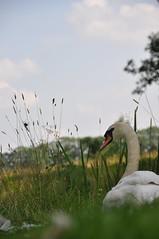 zwaan bij slot Zuylen (helena_is_here) Tags: libelle boomgaard reiger zwaan ooievaar zwanen slotzuylen