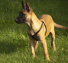 Gico (Giorgio___) Tags: dog cane olympus belga hund malinois zuiko giorgio pastore malines zd gico sillian quattroterzi oly43 ed14150mm malinoispastorebelgadelmalines