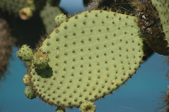 prickly pears (cam17) Tags: galapagos pricklypears pricklypearfruit warmblooded southplazaisland opuntiacactus opuntiaechios pricklypearleaf opuntiaechiosvarechios
