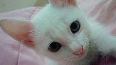 Luke (Fernanda Ferreira Pinto) Tags: cat gato whitecat gatinho gatobranco