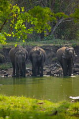 Thirsty Giants | Kabini (VinothChandar) Tags: india elephant color colour green nature water colors forest photography photo colorful tank photos pics vibrant wildlife picture vivid pic jungle 5d karnataka thirsty