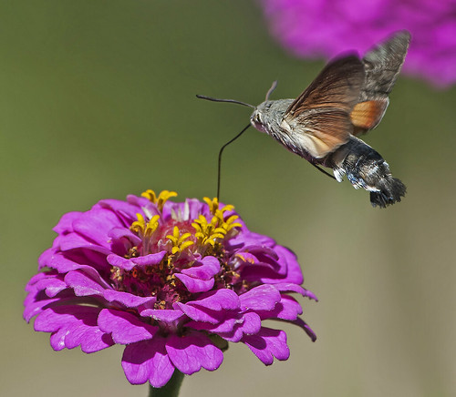 hummingbird hawk moth 19.7.