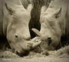 Portraits de rhinoceros