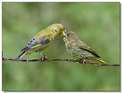 Greenfinch Feeding Youngster (The-Hawk) Tags: birdperfect freedomtosoarlevel1birdphotosonly freedomtosoarlevel2birdphotosonly freedomtosoarlevel3birdphotosonly freedomtosoarlevel4birdphotosonly freedomtosoarlevel4birdsonly