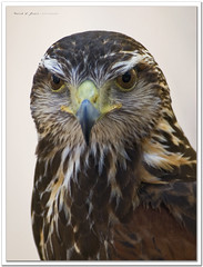 Un rostro severo y grave (Rodion Quidam) Tags: bird eye ojo hawk beak feather galicia ave pico pluma birdofprey pjaro halcn harrishawk harrisshawk parabuteounicinctus vilanovadearousa averapaz baywingedhawk gavilnmixto halcndeharris duskyhawk aguililladeharris gavilnrabiblanco pontearnelas busardodeharris mygearandme gavilnacanelado peucodeharris