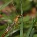 Short-tailed Ichneumon Wasp - detail