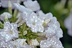 white flowers (franciska_bosnjak) Tags: white flowers drops waterdrops raindrops flower outdoor blossom macro