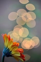 Bokeh bubble machine (James_D_Images) Tags: orange flower yellow closeup garden lights petals bokeh gerbera daisy