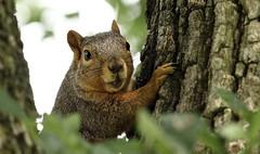 Squirrel, Morton Arboretum. 357 (EOS) (Mega-Magpie) Tags: canon eos 60d nature wildlife squirrel tree leaf green cute the morton arboretum lisle dupage il illinois usa america outdoors outdoor