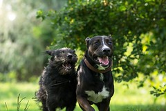 Bogi&Ali (Tams Szarka) Tags: dog pet animal puppy outdoor nature running happy fun