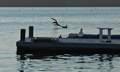 Water Landing (smilla4) Tags: dock reflections seagull flight maquoitbay maine merepoint